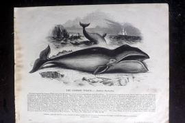 SPCK 1842 Folio Print. Common Whale